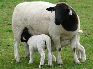 Dorper Ewe with two lambs
