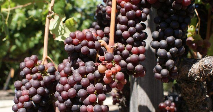Cuando sembrar las vides de uva. Ya sea que estes plantando uvas de mesa y uvas para el vino, informarte acerca de la temporada de siembra correcta puede hacer toda la diferencia en la calidad de tu cosecha de uva.