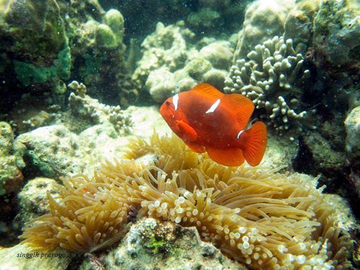 Clown Fish, Pahawang Island-Lampung