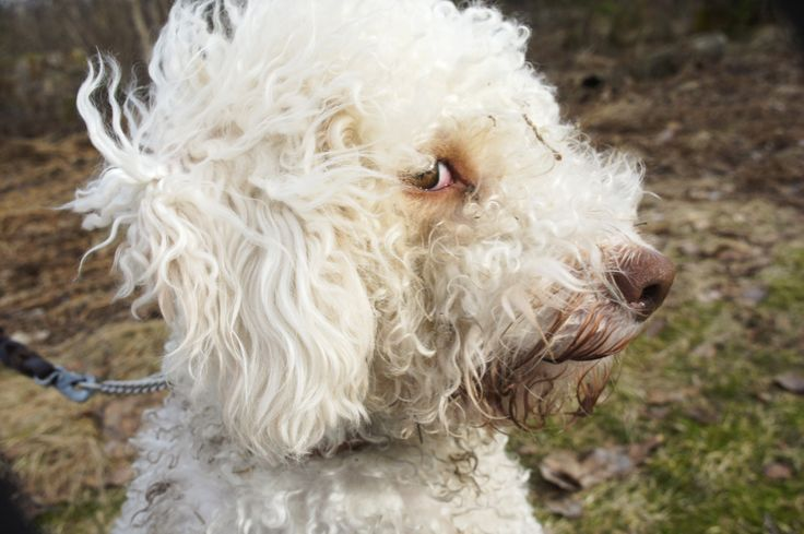 Lagotto, her name is Chilli and she's in love with nature.
