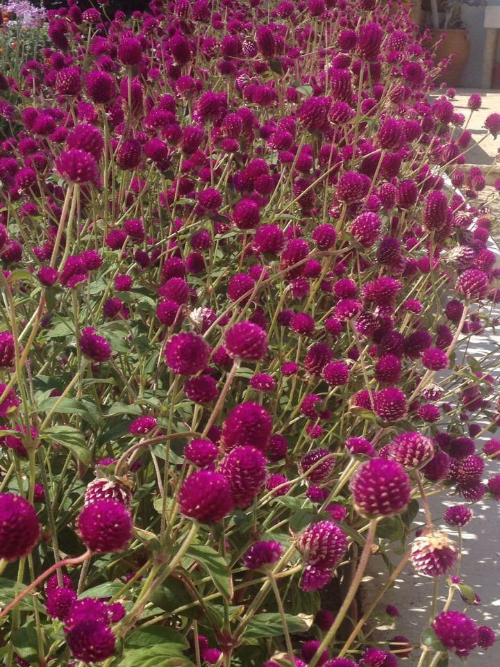 Flowers Macedonia