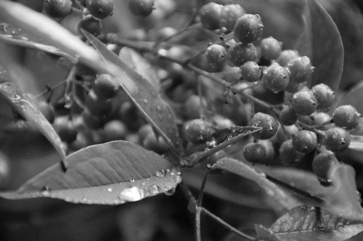 Pianta ornamentale da giardino, Nandina domestica, dopo la pioggia. By Luna@Rossa