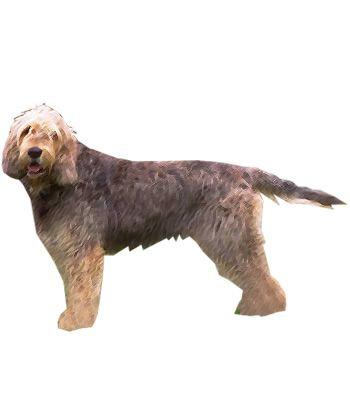 Otterhound, Daily exercise and Pet health on Pinterest Otterhound Exercise