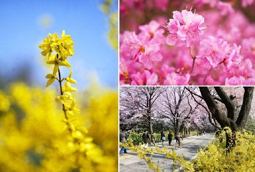 2015年杜鵑花與迎春花開花時期預測 | 韓國觀光公社