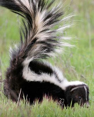 Striped Skunk colorado springs - Google Search