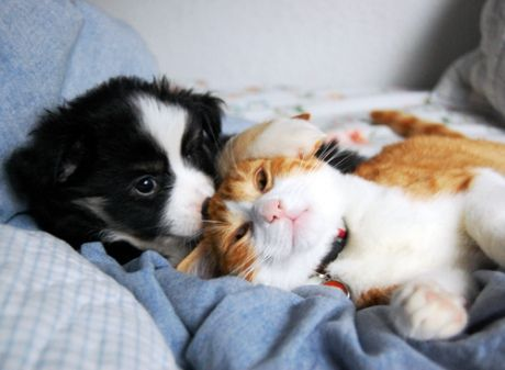 Cute Puppy and Kitten Snuggled up together dogs