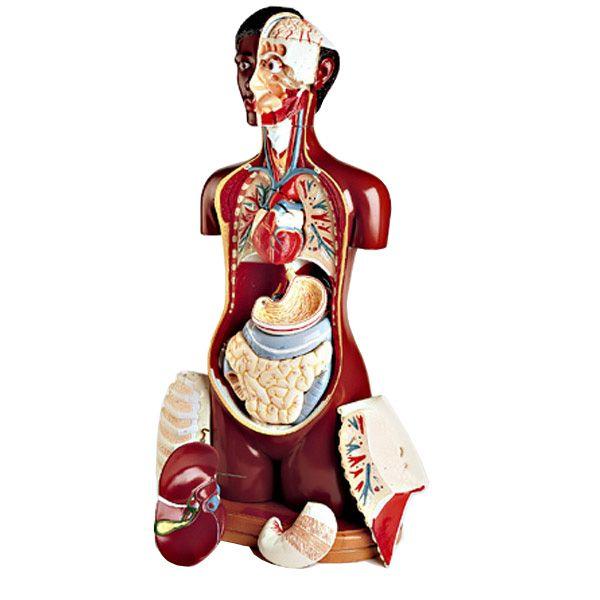 The 21 Best Human Torso Models Images On Pinterest Human Anatomy