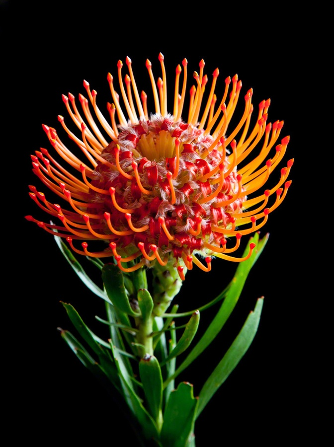 Orange Pincushion Protea by Tom Reiman