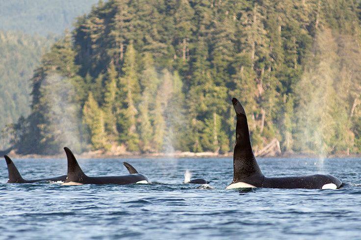 Orca Watching Kayaking Tour Vancouver