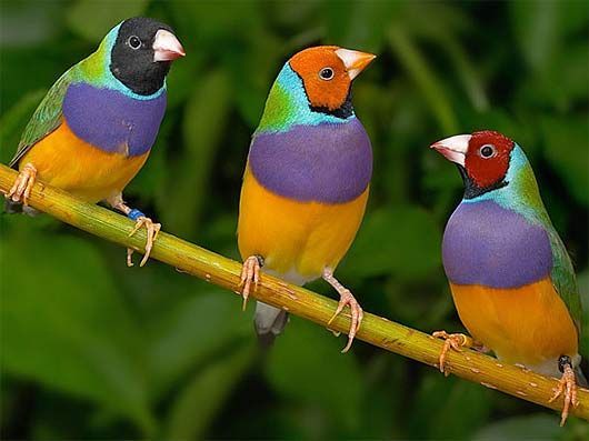 "Gouldian Finch Erythrura gouldiae ""A patchwork of colors"""