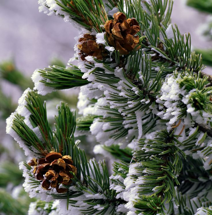 Image result for pine trees grow winter
