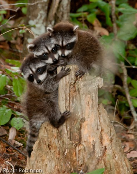 baby raccoons_ | Flickr - Photo Sharing!