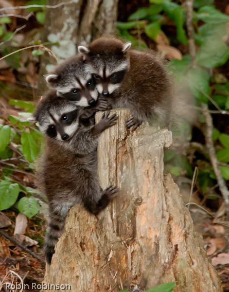 baby raccoons_ by robinnestridge @ Flickr - Photo Sharing!