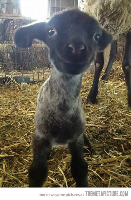 Having a bad day? Here is a smiling baby lamb.