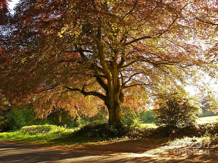 Landscape Photograph - Copper Beech Tree In Rural Hampshire  by Alex Cassels