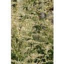 Witte bijvoet (Artemisia lactiflora)  Kleur:Wit Bloeitijd:Augustus, Juli Max. hoogte:125cm Standplaats:Halfschaduw, Zon Geurend:Ja Groenblijvend:Nee