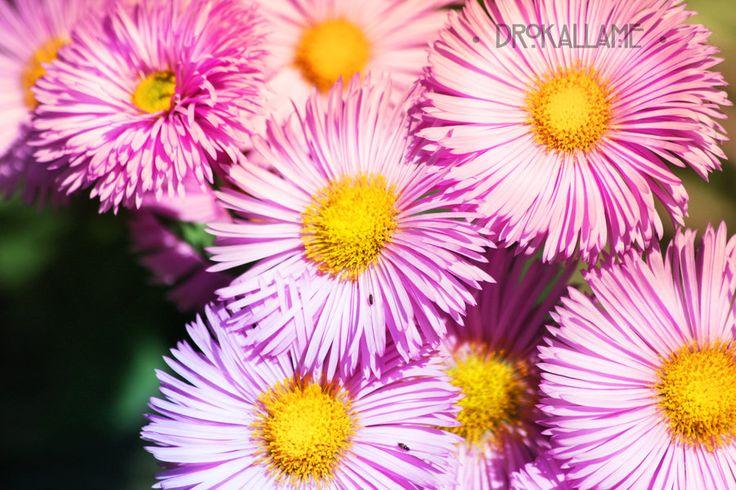 Pink Daisies by Drokallame.deviantart.com on @DeviantArt