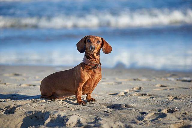 Beach Dog American Kennel Club Dog Beach Cute Dogs