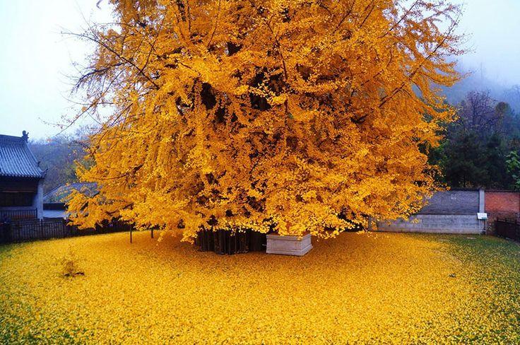 Ein 1400 Jahre alter Ginkgo-Baum in China zog vor kurzem Tausende von Menschen…