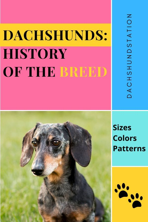 Unique Origin Of The Dachshund History Weight Color In 2020 Dachshund Puppies Dachshund Puppy Miniature Dachshund