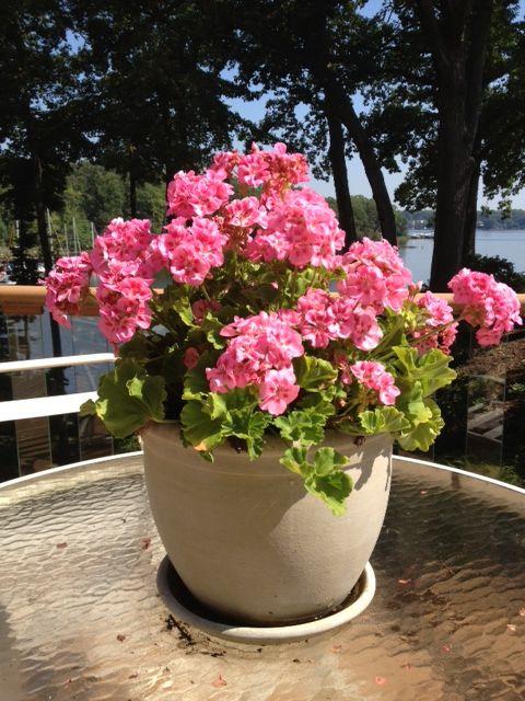 Пеларгония любимая и популярная  Всем хороша пеларгония! И никогда не выйдет она из моды, как бы не старались вытеснить её с подоконника новомодные комнатные растения.