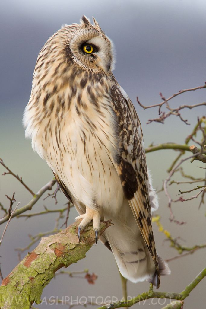 Short-eared Owl - all continents except Antarctica and Australia | by Albi748.deviantart.com
