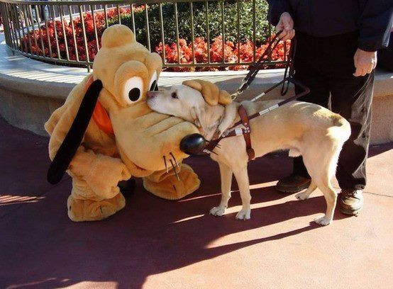Too Sweet!!!! A guide dog meeting Pluto at Disney World.