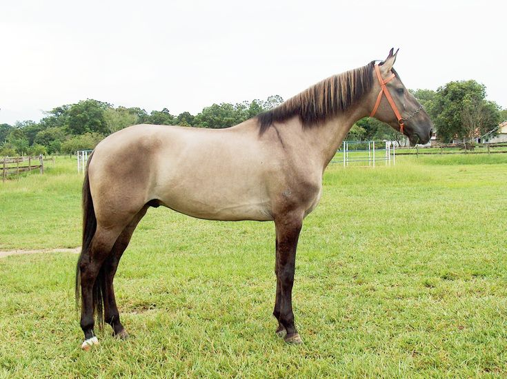 182 best Horse Color Galore: Multiple Dilutes images on