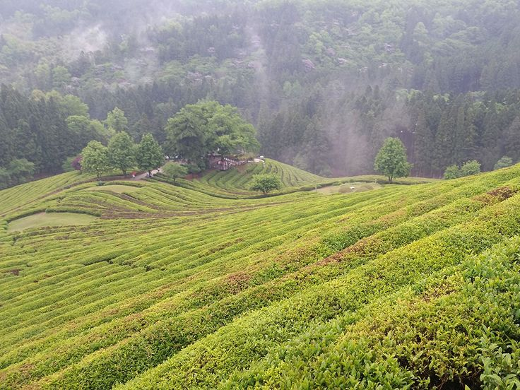 Se perdre dans les champs de thé de Boseon