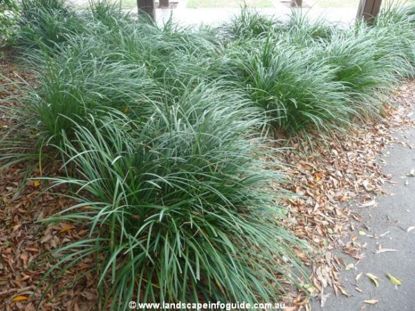 Liriope muscari 39 evergreen giant 39 border grass save for Border grasses for landscaping