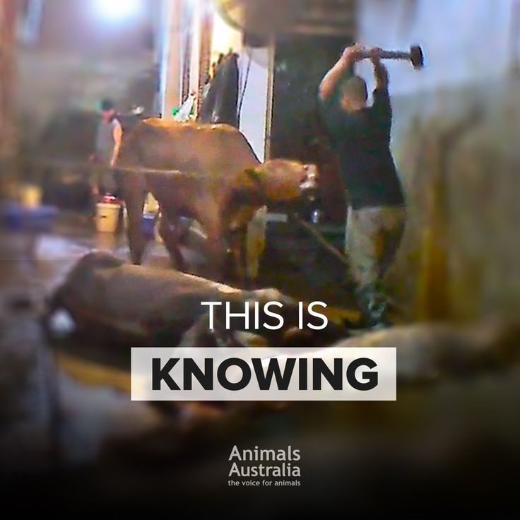 Live Animal Export - What happens after they arrive. Horrendous! Speak out against live animal export!