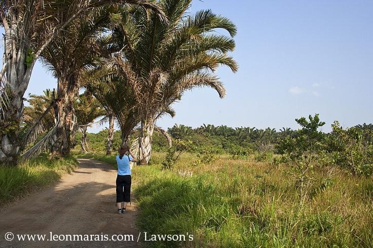 the Raffia Palm Monument at Mtunzini - in search of the Palmnut Vulture. #birding #mtunzini #safari