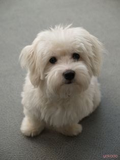 Coton De Tulear Puppy Cut 1000+ ideas about <b>coton de tulear</b> on pinterest  maltese ...