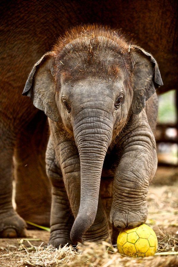 Wanna play ball?!? ~ Little Calf @ Elephant Conservation Centre, Lampang, Thailand