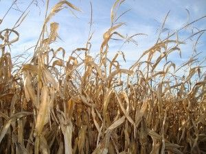 Corn lost to drought, leaving GMO corn to sell at record prices