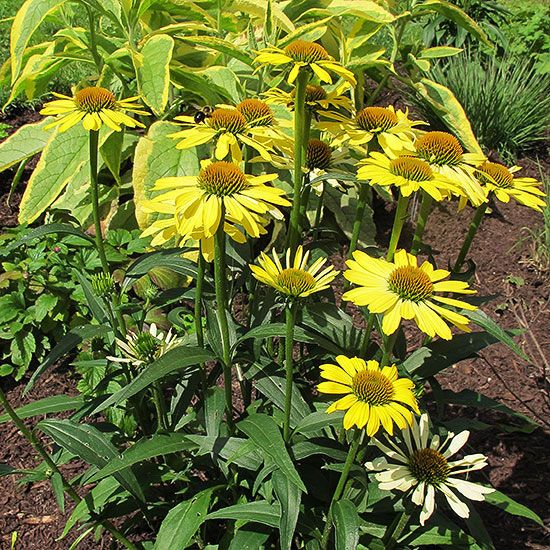 Grow These Sun Loving Perennials That Shine Year After