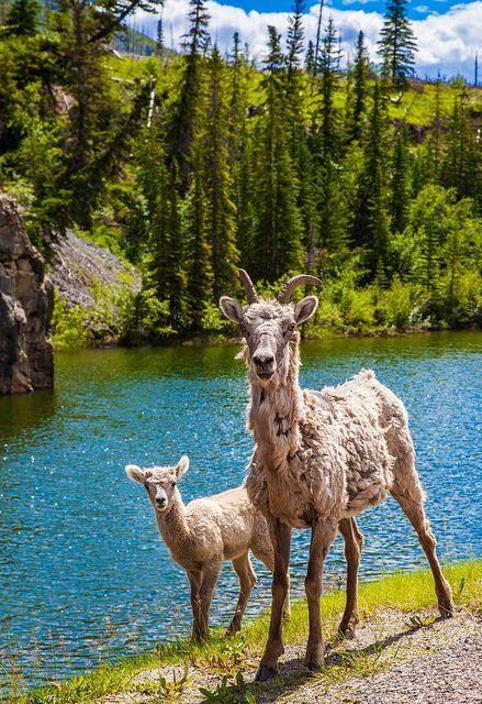 Mountain goats, Jasper. Canada; photo by .Alan Shapiro