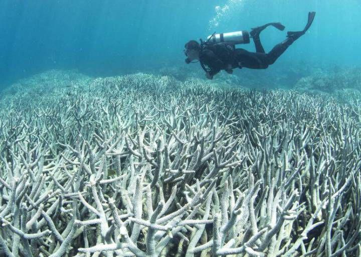 La Gran Barrera de Coral australiana se está volviendo blanca