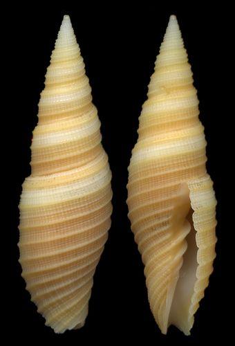Neocancilla circula Kiener,1938 - Filippine by giubit, via Flickr
