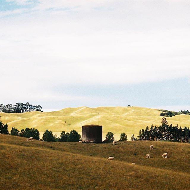 The dry rolling hills of Central Hawkes Bay. Summer 17 🌞 #35mm #olympusmjuii #hawkesbay