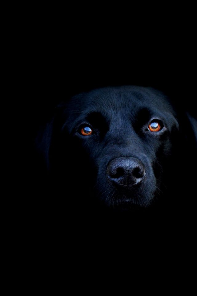 #Black #Dogs Black Labrador