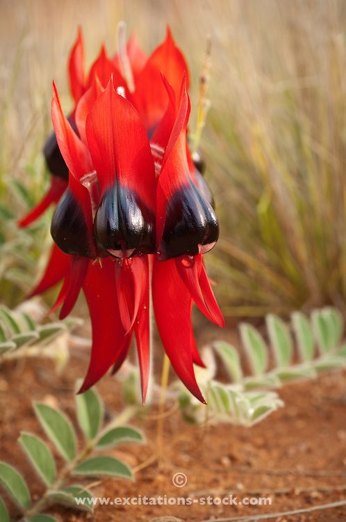 Sturt's Desert Pea flowers, a native of all mainland Australian states with the exception of Victoria. Floral Emblem of South Australia and the Northern Territory.