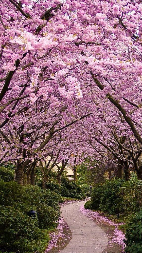 Honey On Twitter Blossom Trees Beautiful Nature Cherry Blossom Wallpaper