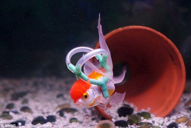 The Cutest Goldfish Swims Again!