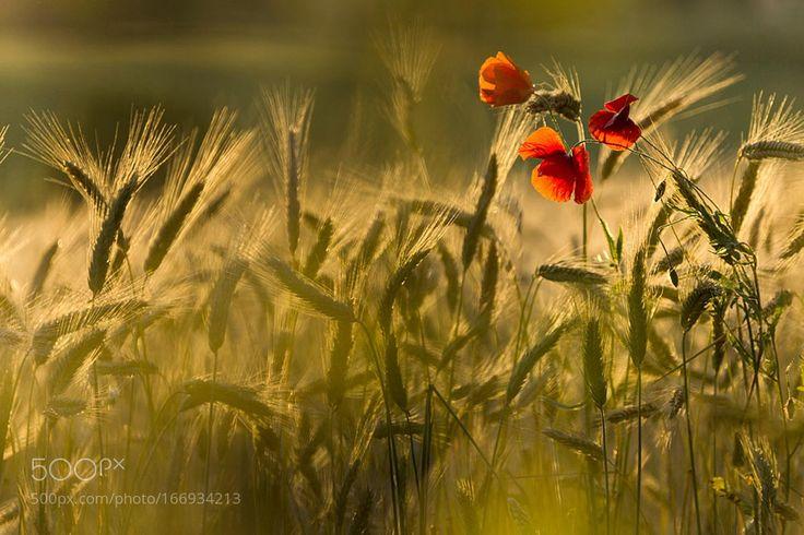 In un campo di grano by fusanifulvio. @go4fotos