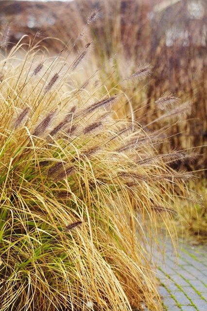 17 best images about gardening ornamental grasses on for Low growing ornamental grasses for sun