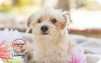 Inland Empire, CA - Tea Cup Poodle/Yorkie, Yorkshire Terrier Mix. Meet LEONYA, a…