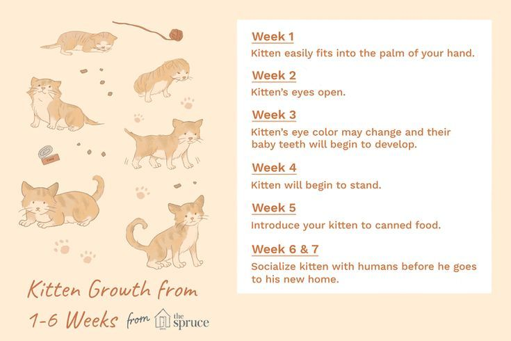 Here S What To Expect In The First 6 Weeks Of Your Kitten S Life