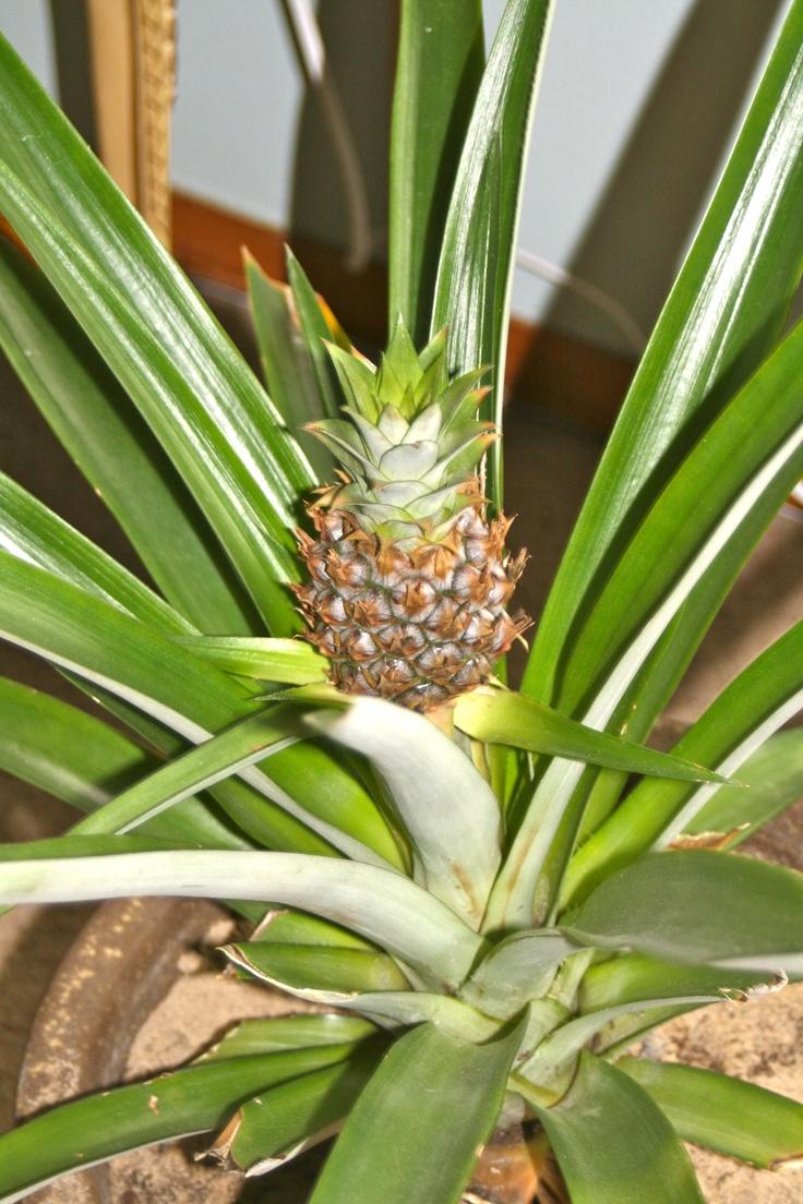 mature pineapple plant