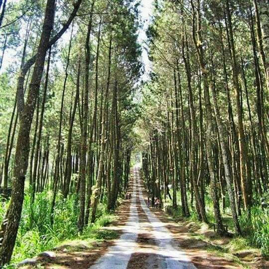 Pogalan pinus forest, Magelang, Central Java.  © prabawahyu_